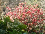 Early-flowering Japanese quince bush