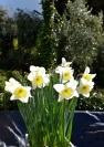 Daffodils Granada Maureen