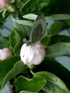 Granada butterfly quince