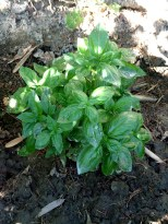 Maureen's Gallinero Herb Garden
